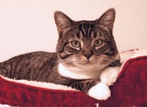 Lizzy is a healthy, adoptable cat from Happy Cats Haven in Colorado Springs, CO