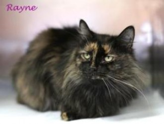 Rayne is a well-groomed adoptable cat in Easton, Pennsylvania