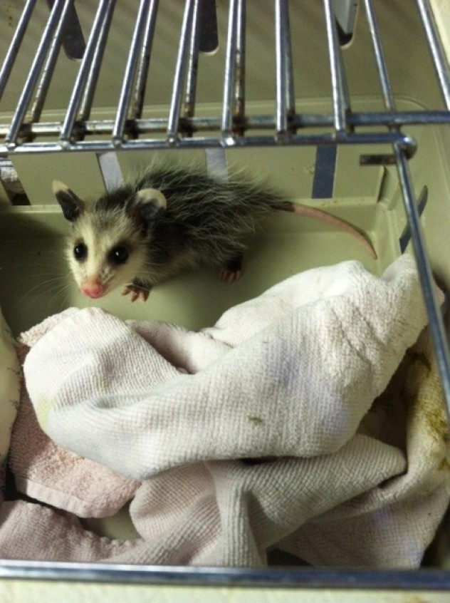 This opossum is one of the lucky ones to end up at Antler Ridge!