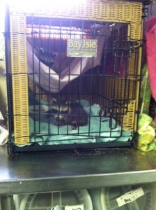 Raccoons being cared for by Antler Ridge Wlidlife Rehabilitation Center