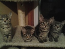 Kittens available from IL608 Friends of Chicago AC&C