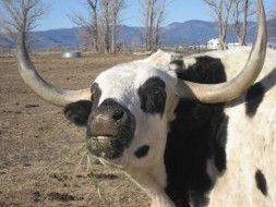 Enrichment for Farm Animals cow horse