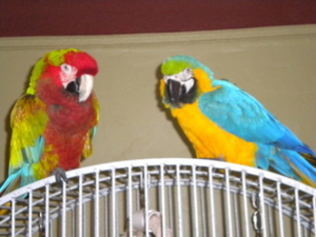 Ozzy and Sharon from CA1281 Parrots First