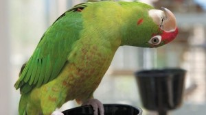 Racket the Conure from CA1694 Parrot Education and Adoption Center
