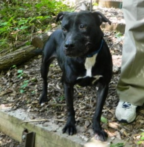 NY118 Town of North Hampstead Shelter Connection Ebony the Pit Bull