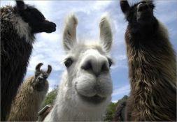 Adoptable Llamas