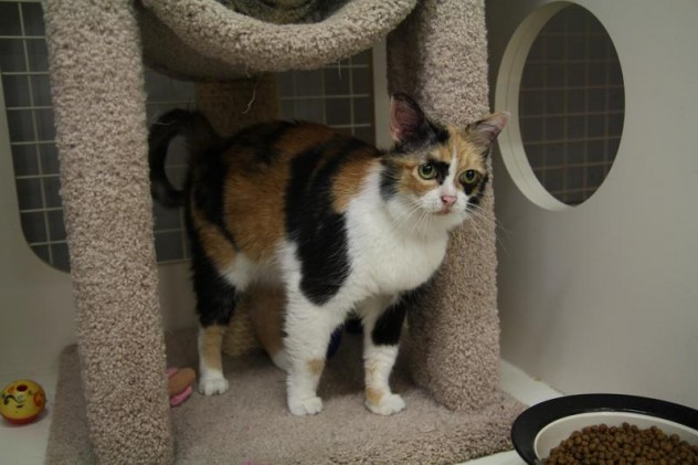 Tammy Faye from Dallas Cat Ladies Adoptions