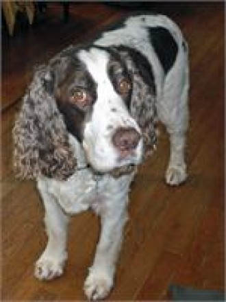 PA63 Chuck the Dog Mid-Atlantic English Springer Spaniel Rescue