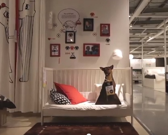 Homeless Dogs Takeover IKEA Showrooms - Petfinder Members